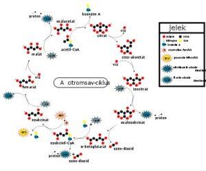 sejt biológiai oxidáció